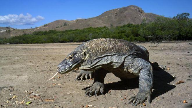 Комодский (Комодосский) варан - самая крупная ящерица в мире