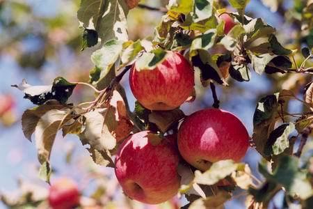 Яблоко, яблоневый сад